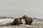 Brown bear spring cubs explore the beach along the Cook Inlet at the McNeil River State Game Sanctuary on the Kenai Peninsula, Alaska. The remote site is accessed only with a special permit and is the world's largest seasonal population of grizzly bears in their natural environment.