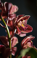 Dramatic dark pink cymbidium orchid flowers