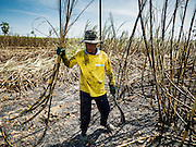 24 JANUARY 2017 - THUNG LUK NOK, NAKHON PATHOM, THAILAND: A sugarcane worker cuts cane in Thung Luk Nok. Thai government  officials recently announced that they plan to float sugar prices later this year or early in 2018. Wholesale prices are currently set by the Cane and Sugar Board, a part of the Industry Ministry, while the Commerce Ministry sets the retail price. Thailand has fixed retail prices of sugar to guarantee a profit for farmers. Thailand is the world's leading exporter of sugar, after Brazil. Thai sugar production is expected to drop by more than three percent because of the lingering drought that crippled agriculture through 2015 and 2016.    PHOTO BY JACK KURTZ