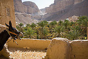 A donkey at Wadi Do'an, Hadhramawt, Yemen. In the distance is the Khailah Palace Hotel.