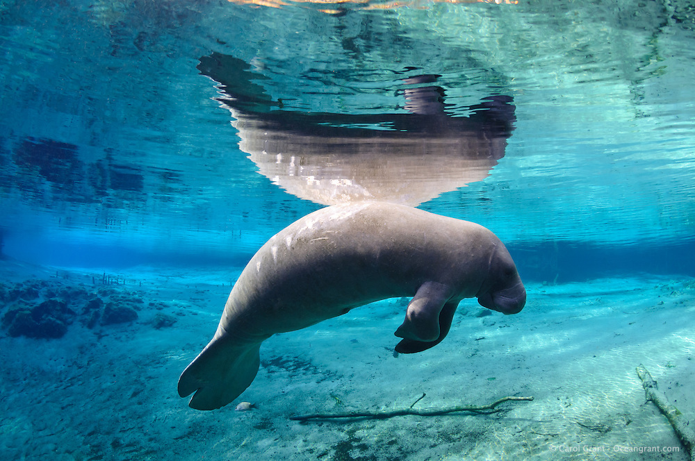 Florida manatee, Trichechus manatus latirostris, a subspecies of the West Indian manatee, endangered. Series of a mature adult male manatee with scars resting and warming himself over a large springhead. An adult male manatee floats with perfect buoyancy over a large spring. Propeller scars are shown and reflected. A mangrove snapper, Lutjanus griseus, swims below. Tranquil warm blue freshwater and rainbow sun rays contrast with the ugly propeller scars. In the left background are remnants of wooden posts left by the Cousteau team in the early 1970s while they were corralling a rescued manatee named Sewer Sam. Horizontal orientation with blue water, reflection and rainbow sun rays. Three Sisters Springs, Crystal River National Wildlife Refuge, Kings Bay, Crystal River, Citrus County, Florida USA. License on Getty Images http://www.gettyimages.com/Search/Search.aspx?assettype=image&family=creative&artist=Carol+Grant
