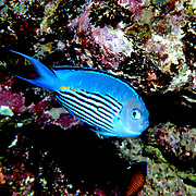 Penstriped Angelfish inhabit reefs. Picture taken Solomon Islands.