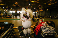 A Poddle is seen at the 50th Euro Dog Show in Kortrijk, Belgium, 16 November 2013.