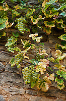 Attractive composition of Chablis grapes growing up a stone wall in France.