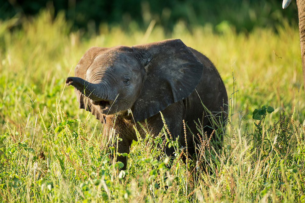 Africa, Botswana, Chobe National Park, African Elephant Baby (Loxodonta africana) on grassy banks of Chobe River at sunset