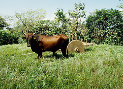 Ox standing in a grassy field in front of a primitive woodedn cart