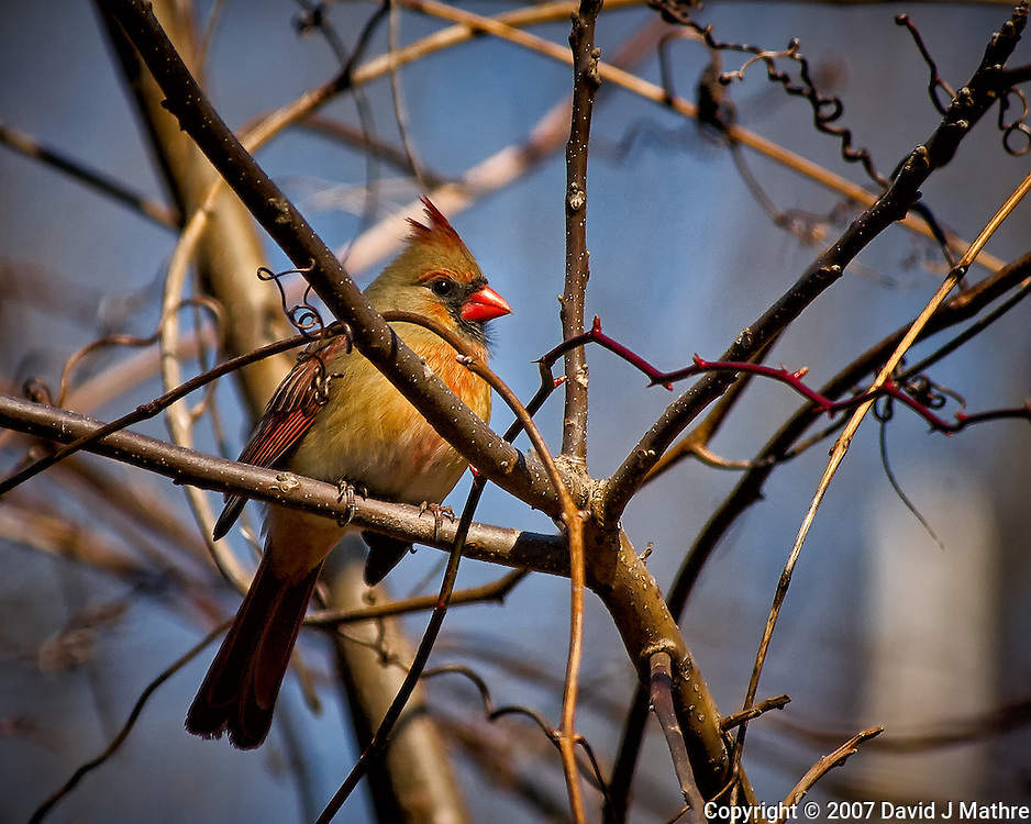 Inquisitive female Northern Red Cardinal perched in a sunny tree in my backyard. Winter nature in New Jersey. Image taken with a Nikon D2xs camera and 80-400 mm VR lens (ISO 400, 400 mm, f/5.6, 1/1250 sec).