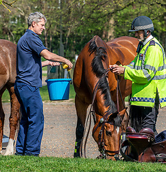 © Licensed to London News Pictures. 10/04/2020. London, UK. Police horses get a cooling sponge down after patrolling for over two hours in Richmond Park. There has been a high police presence in London over the last week to persuade people from unnecessarily going out over the Easter Bank holiday weekend were temperatures are expected to reach 25c as the coronavirus crisis continues.. Photo credit: Alex Lentati/LNP