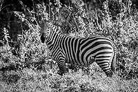 Zebra at Lake Nakuru, Kenya