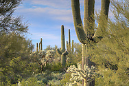 Cacti in southern Arizona