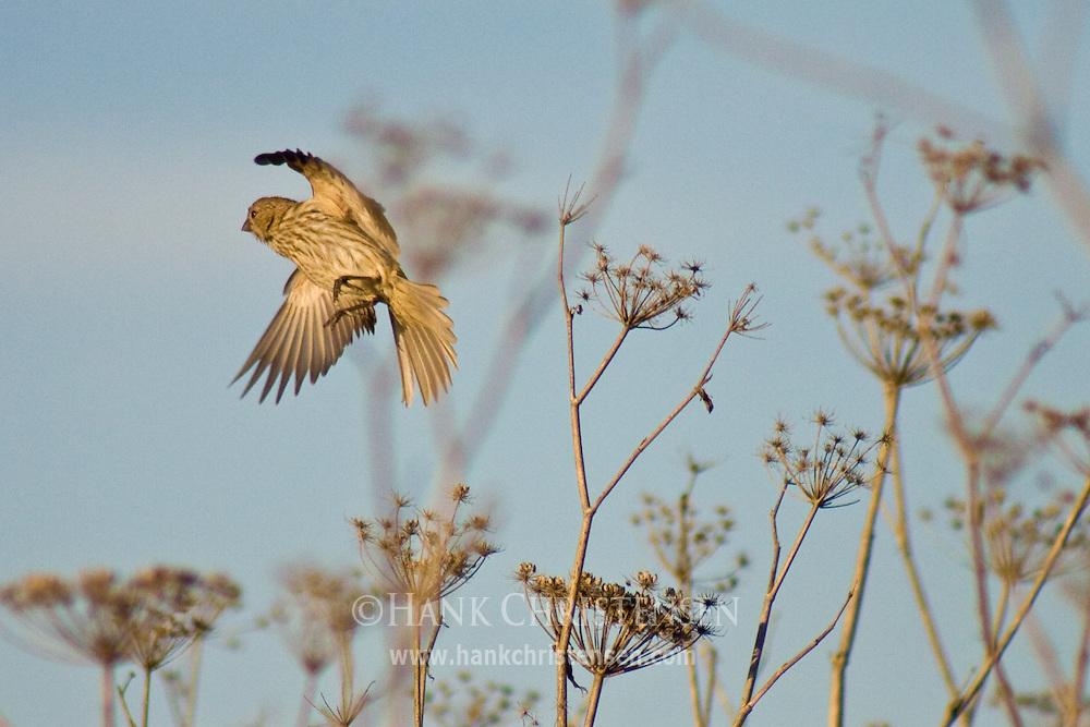 Sparrow takes flight, wings spread