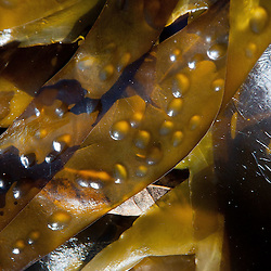 Kelp Detail, Stuart Island, Washongton, US