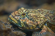 Mottled Sculpin <br /> <br /> Isaac Szabo/Engbretson Underwater Photography
