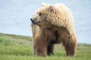 Alaskan Brown Bear at Silver Salmon Creek, Lake Clark National Park, Alaska