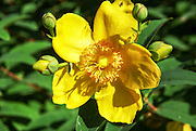 Glaucium flavum (yellow hornpoppy or yellow horned poppy) Closeup