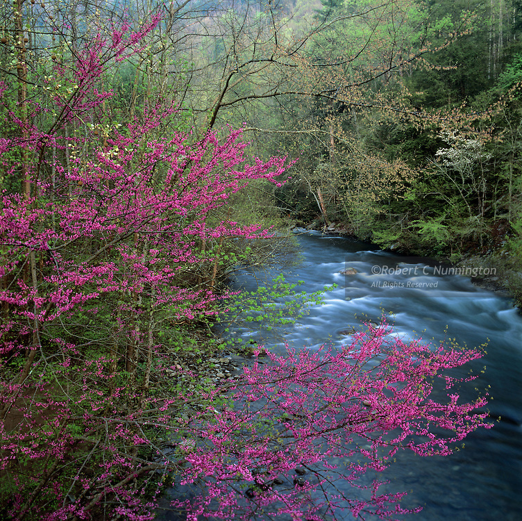 Lush, verdant greens and pinks alongside the Little River, Great Smoky Mountains National Park.