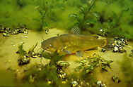 Black Bullhead guarding eggs/nest<br /> <br /> ENGBRETSON UNDERWATER PHOTO