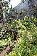Stephanie Haynes hiking through a beetle killed spruce forest on the Alpine Ridge trail in Kachemak Bay State Park, near Homer, Alaska.