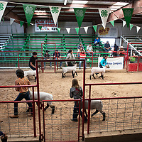 Lamb show at the at the Bi-County Fair in Prewitt, Friday, August, 31, 2018.