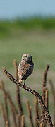 Burrowing owl (Athene cunicularia) on mullein, Badlands National Park