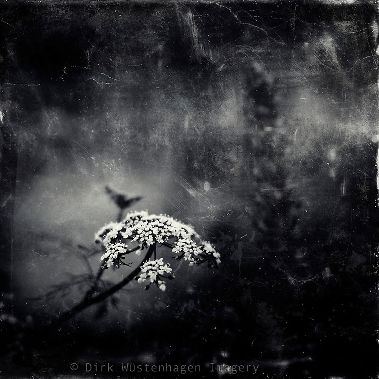 Common yarrow in bloom - texturized monochrome photograph
