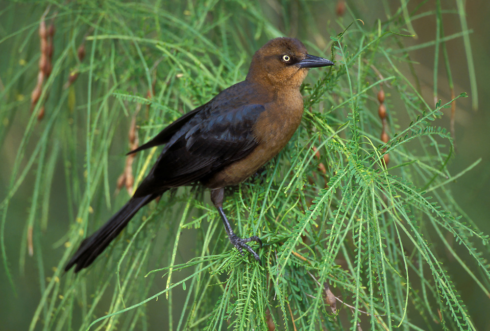 Great-tailed Grackle - Quiscalus mexicanus - female
