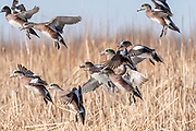 American Wigeon, Mareca americana, males & female, South Dakota
