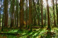 France, Nièvre (58), forêt du parc naturel régional du Morvan // France, Burgundy, Nievre, Morvan park