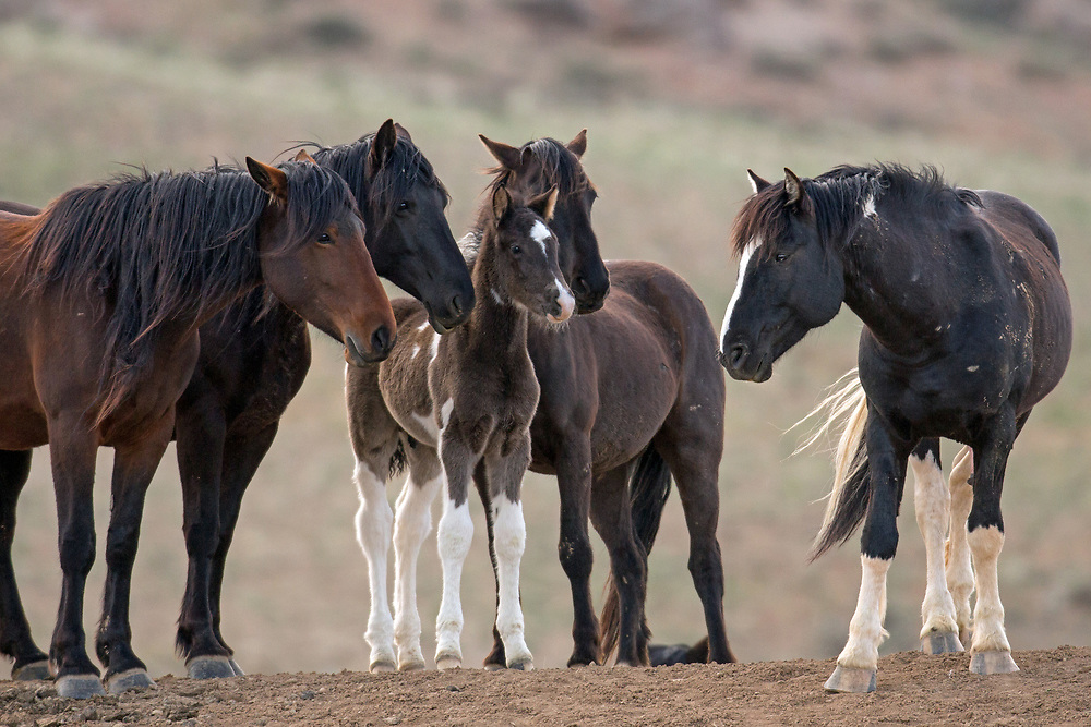 First time dad, the black pinto stallion, Las Vegas, greets his mares and new colt. This little fellow is one of five foals born at McCullough Peaks in 2017, and he's the largest of the bunch. His mother, Smoke, is just to his right.