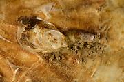 Junge Pazifische Auster (Crassostrea pacifica)