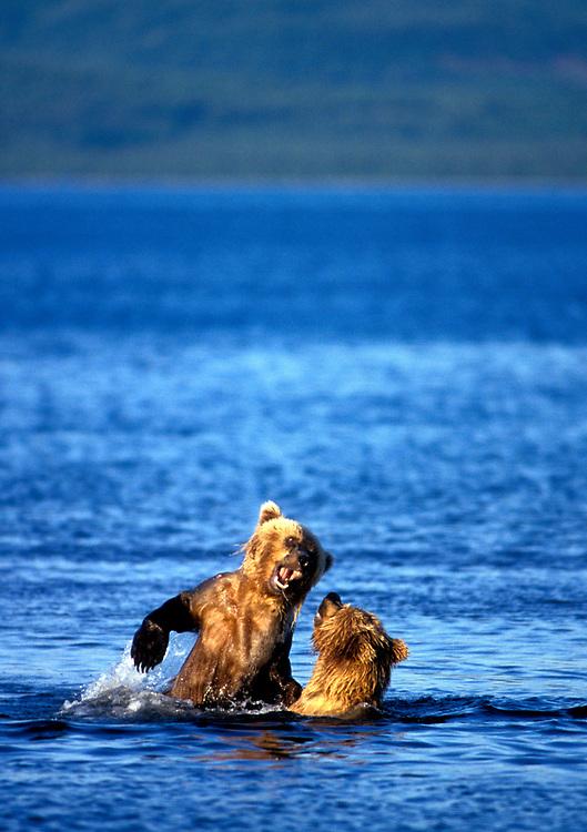 USA, Alaska, Katmai National Park, Sub-adult Grizzly Bears (Ursus arctos) wrestle in Naknek Lake