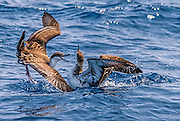 Great Shearwaters fighting Great shearwaters fighting
