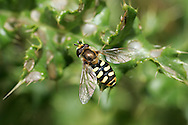 Metasyrphus lapponicus