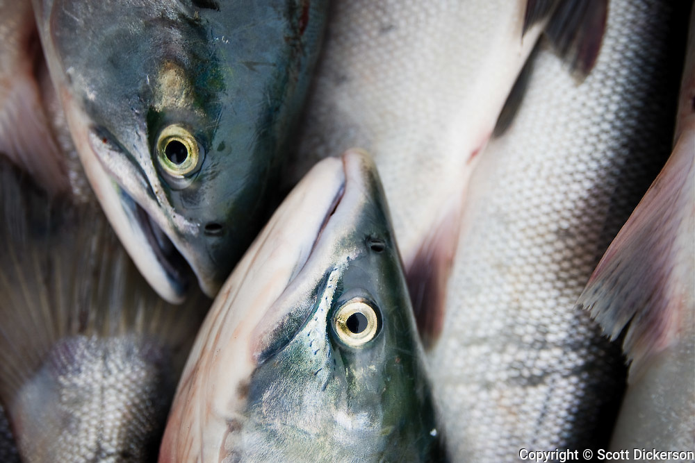 Sockeye salmon, Iliamna, Alaska.