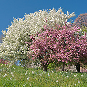 """Malus """"Dorothea"""" in the foreground and Malus """"Snowdrift"""" in the background"""
