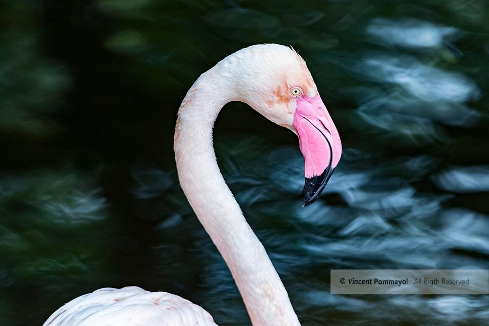 Greater flamingo-Flamant rose (Phoenicopterus roseus) of South Africa.