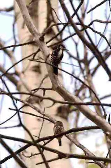 Northern Pygmy Owl, (Glaucidium gmoma) And Hairy Woodpecker, (Picoides villosus) confront each other in aspen tree in northern Montana near owls nest. Owl in defensive posture. Spring.