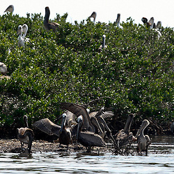 Pelicans are seen on the banks of Cat Island off the coast of Louisiana on Thursday, June 17 2010. Oil from the Deepwater Horizon spill continues to impact areas across the coast of gulf states.