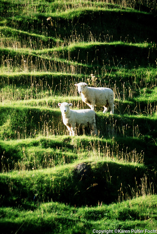 Sheep Graze on the mountain side in New Zealand.