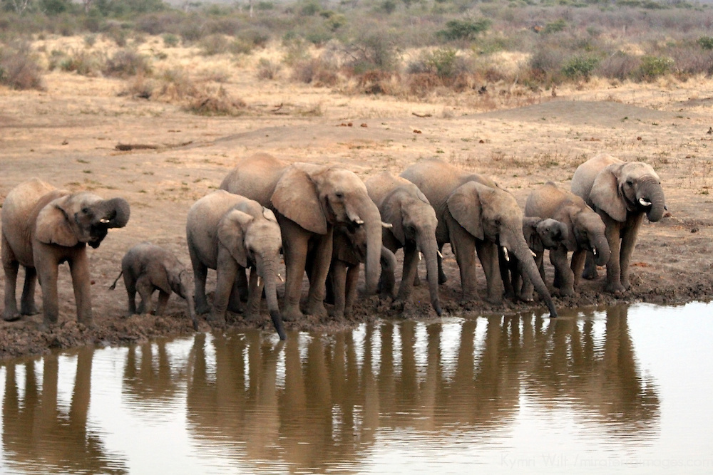 Afreica, South Africa, Madikwe. Elephant herd drinking at water's edge before dusk.