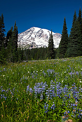 Wildflowers grow in a meadow with Mount Rainier in the background, Mt. Rainier National Park, Washington, United States of America