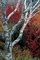 Russell Pond Trail, Baxter S.P., ME. Foliage. The white of a birch tree set against the colors of a Maine fall.