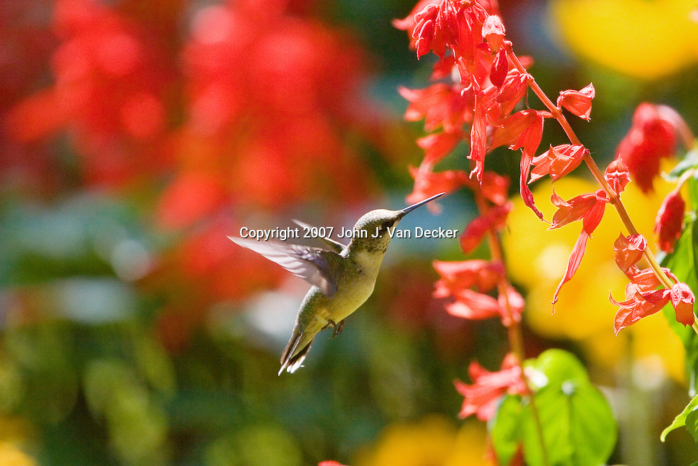 Ruby-throated Hummingbird, Archilochus colubris, female, hovering