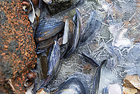 Blue Mussel shells (Mytilus edulis) and Common Periwinkle (Litorina littorea) under a thin sheet of sea ice by a pink granite boulder, Northeast Harbor, Maine
