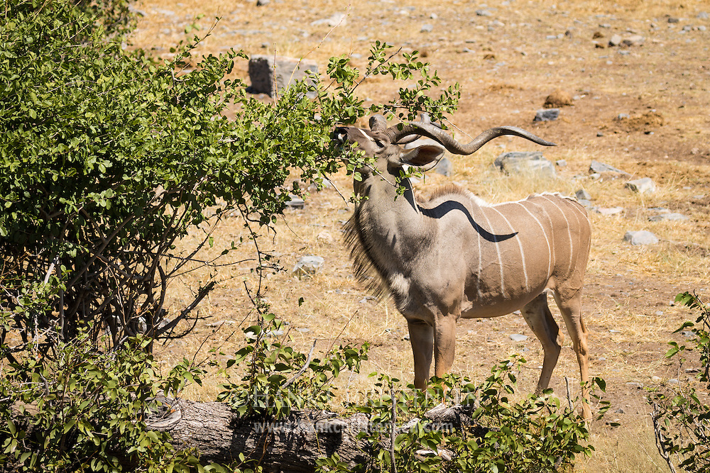 A greater kudu bull eats the leaves off the upper branches of a bush, Etosha National Park, Africa.