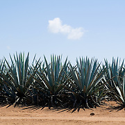 Agave Azul fields.Tequila, Jalisco..Mexico.