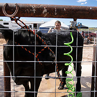 Tia Gonzales, 14, a freshman from Grants High School, washing her 1227 pound steer Bullet, Friday, August, 31, 2018 at the Bi-County Fair in Prewitt.