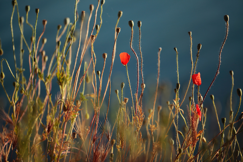Poppies, Papaver sp., growing along the side of Lake Ohrid.<br /> Lagadin region. Lake Ohrid (693m).<br /> Galicica National Park, Macedonia, June 2009<br /> Mission: Macedonia, Lake Macro Prespa /  Lake Ohrid, Transnational Park<br /> David Maitland / Wild Wonders of Europe