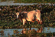 MEXICO, PACIFIC, COLIMA cow grazing in water lilies in lagoon