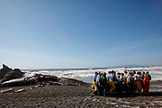 Marine biologists use tarps to carry away the lower jawbone of a 49-foot long sperm whale that washed ashore dead on Pacific Beach in Pacifica, Calif., on Wednesday, April 15, 2015.  They were saving the jaw from looters who would carve out the teeth.  Instead they will take the teeth back to the lab and count the rings to see how old the whale was.